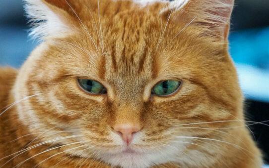 Semi-Agro Cat