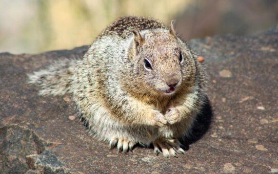 Grubes, the Oregon Ground Squirrel